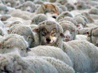 volki-i-ovci