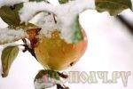 первый снег,яблоня,снег на яблоках,