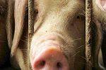 свинья,своих свиней хватает,