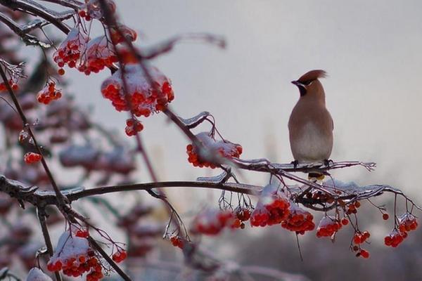 рябина,зима,ноябрь,свиристель,