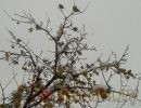 яблоня,зима,свиристели,яблоки в снегу,