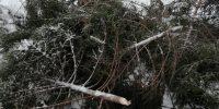 Задержан ёлочный браконьер, вырубивший в госзаказнике более 3 десятков елей