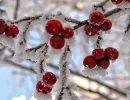 рябина,мороз,зима,гроздья рябины на морозе,