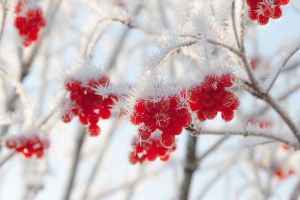 рябина,зима,мороз,февраль,