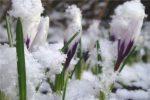 поснежники,весна,снег,март,