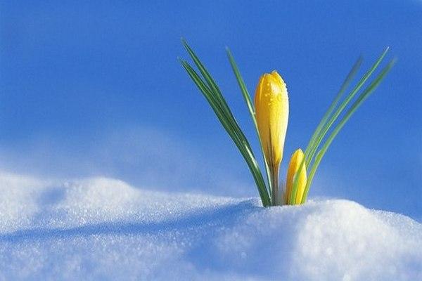весна,подснежник,