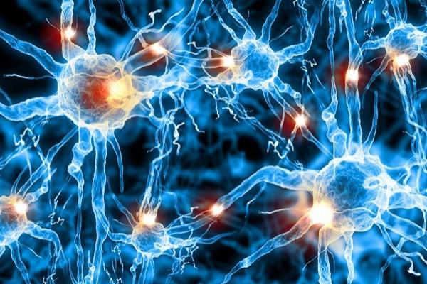 нервные клетки,