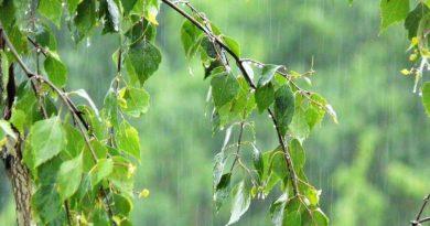 дождь,листья березы,лето,