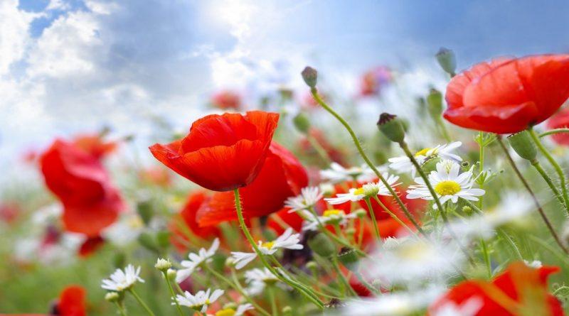 мак,цветы,ромашки,поле,лето,маков день,