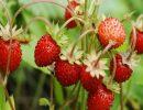 земляника,ягоды,лето,природа,