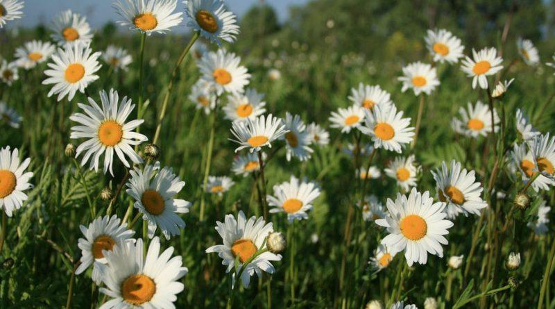 полевые цветы,ромашки,лето,