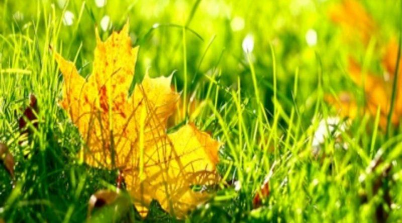 лист клёна лежиит в траве,погода на 1 сентября,