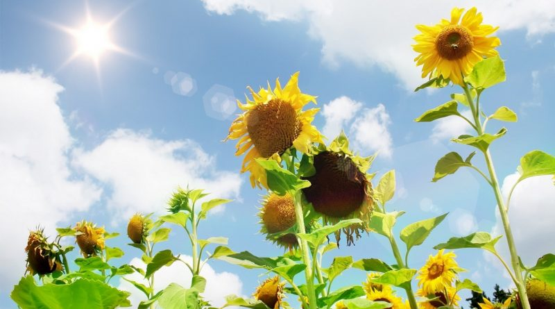 лето,август,небо,подсолнухи,поле,