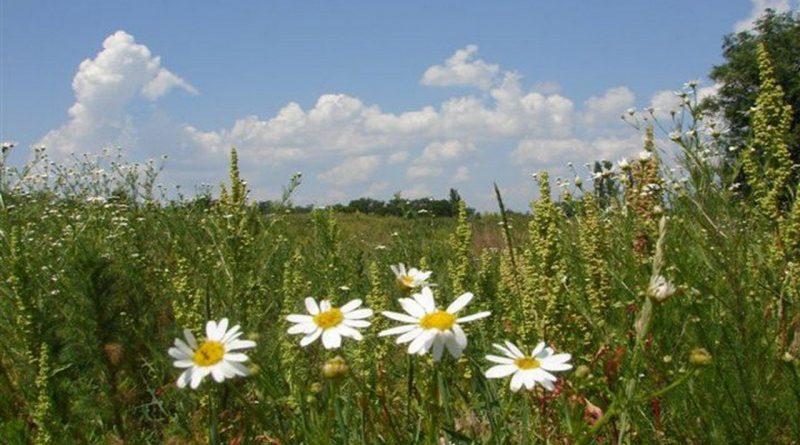 ромашки,август,поле,