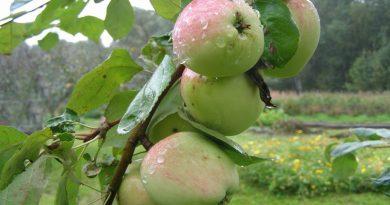 яблоки,дождь,мокрые яблоки,август,лето,