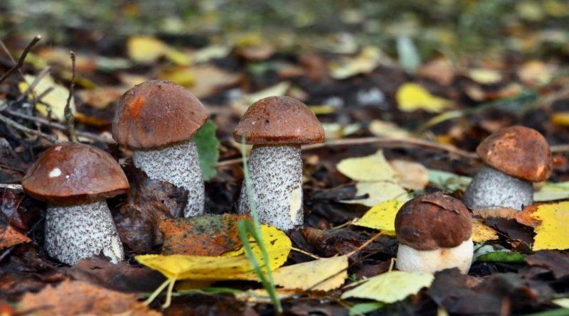осень,гриб подосиновик,