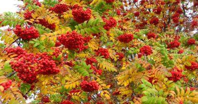 рябина,осень,сентябрь,Два Пимена,