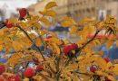 осень,шиповник,1 октября,Арина Шиповница,