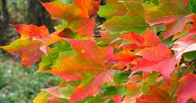 листья,клён,осень,бабье лето,