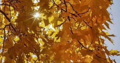 осень,октябрь,бабье лето,листья клена,