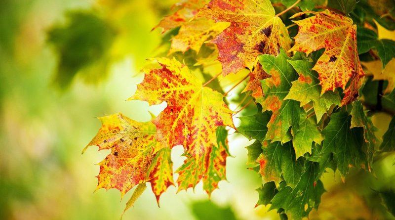 осенние листья,листья клена осенью,теплая осень,