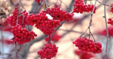 гроздья,рябина,осень,ноябрь,